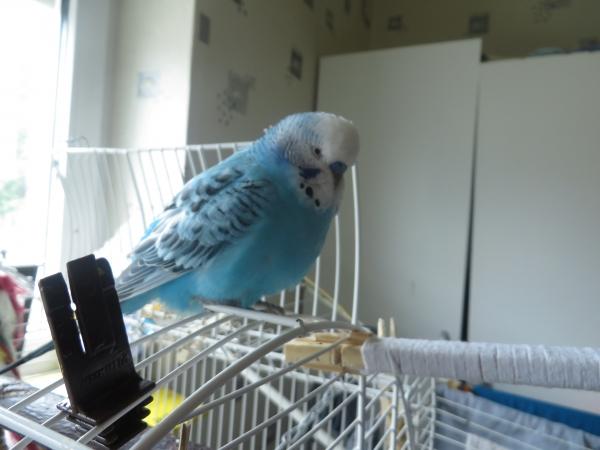 Mein Blauer oder auch Blue