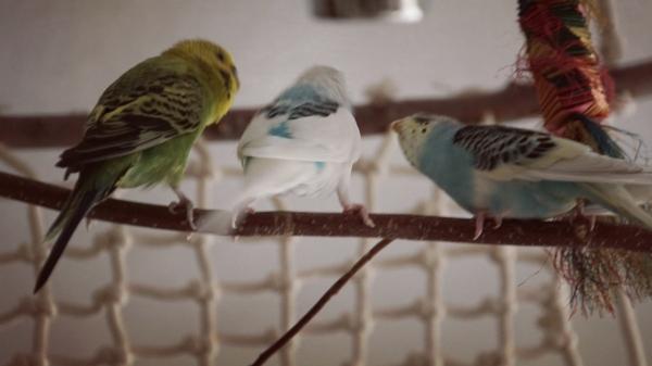 Der Hahn im Nest