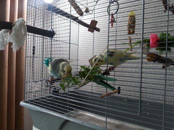 Lecker Vogelmiere die schmeckt und ist gesund