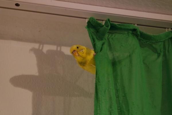 Tweety hängt am Vorhang