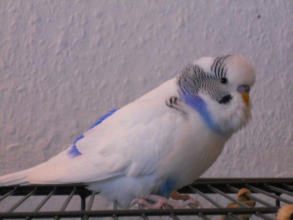 Falco mit Superbärtchen