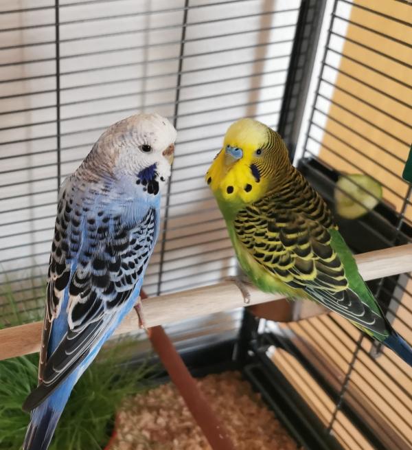 Lemon und Blue