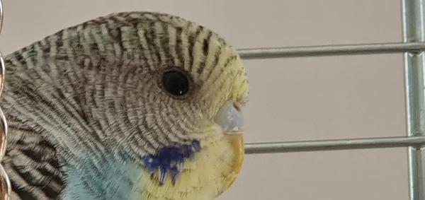Ist Blue ein Hahn oder Henne?