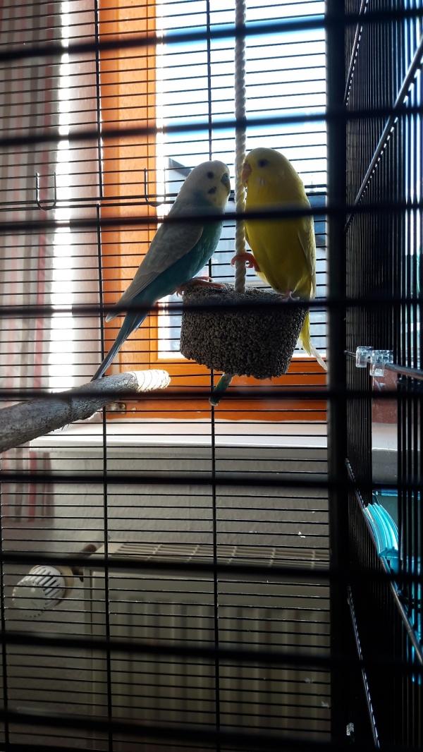 Meine zwei Schätze Mika (blau) und Tibi (gelb)