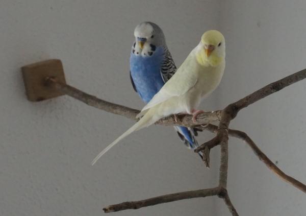 Meine Wellensittiche Blue und Mimi