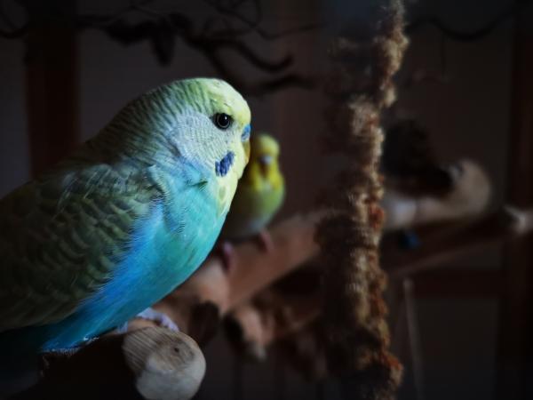 Blauer Schönling