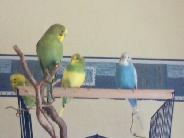 3 grüne und 1 blauer Welli