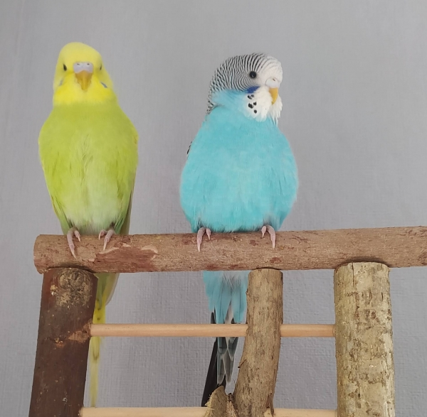 Kiwi und Blue bei ihrem 1.Freiflug