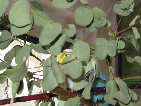 Versteckspiel im Eukalyptus