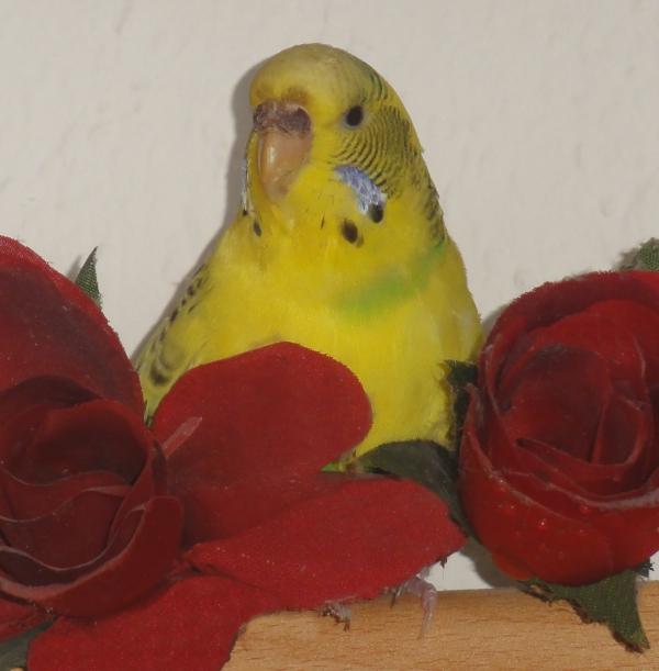 Peppa und die Rosen