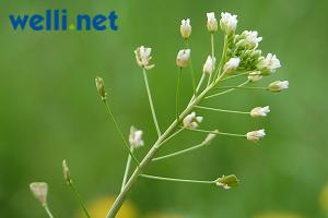 wildkr uter wildpflanzen gesundes gr nfutter f r wellensittiche buchstabe h. Black Bedroom Furniture Sets. Home Design Ideas