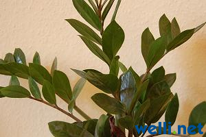 great zamioculcas zamioculcas zamiifolia with zamioculcas giftig kind. Black Bedroom Furniture Sets. Home Design Ideas