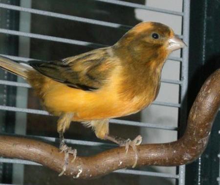Andrew Erkennen Kanarienvogel Alter theories