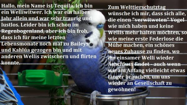 Wellensittich-Hahn Tequila von blueberry